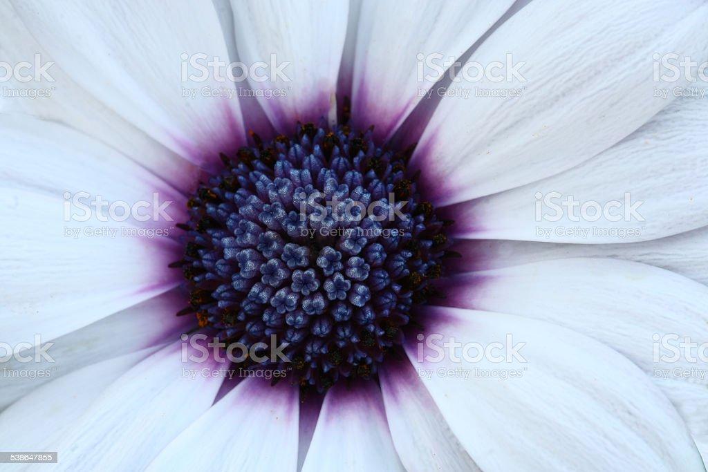 Bee pollinated on deep purple cosmos flower stock photo