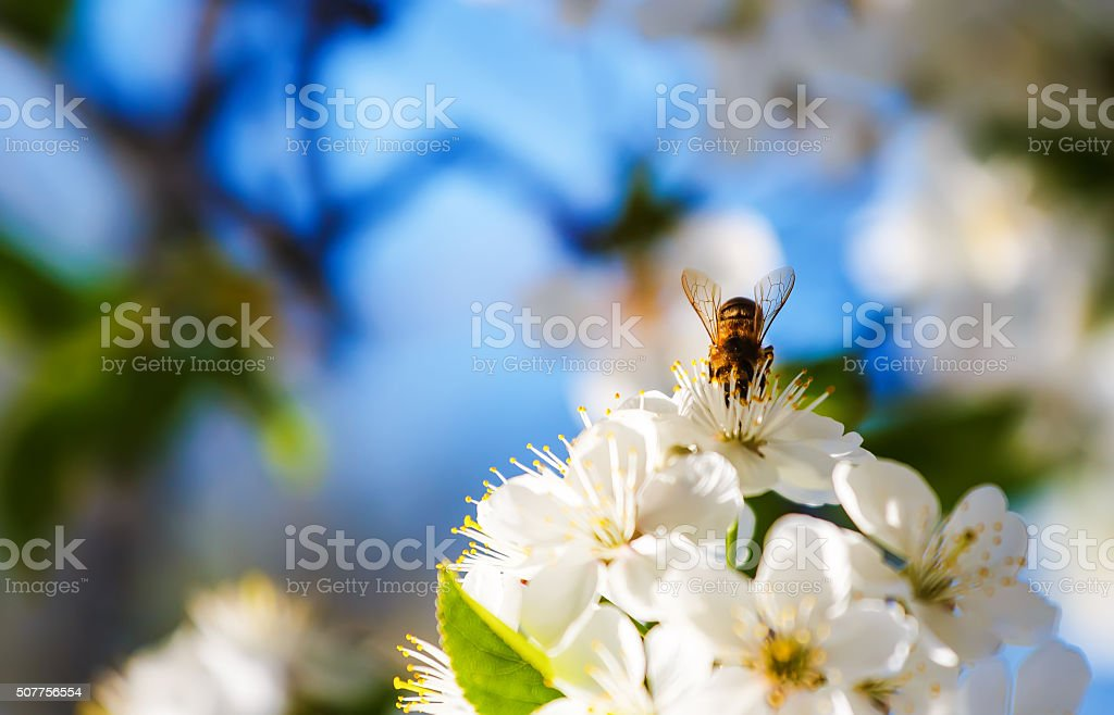 bee pollinates flowers of apple trees in the spring sunny stock photo