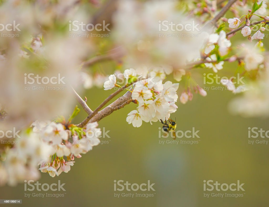 Bee Pollinating a Cherry Blossom stock photo