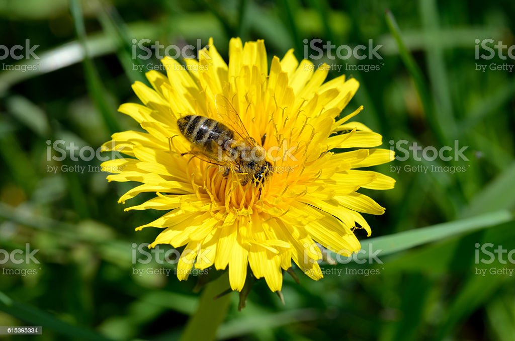 Bee pollinating a dandelion stock photo