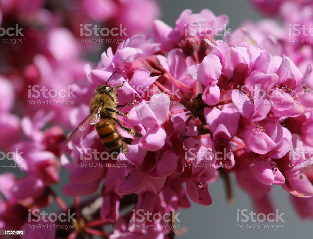 Bee pollinating a flowering tree stock photo