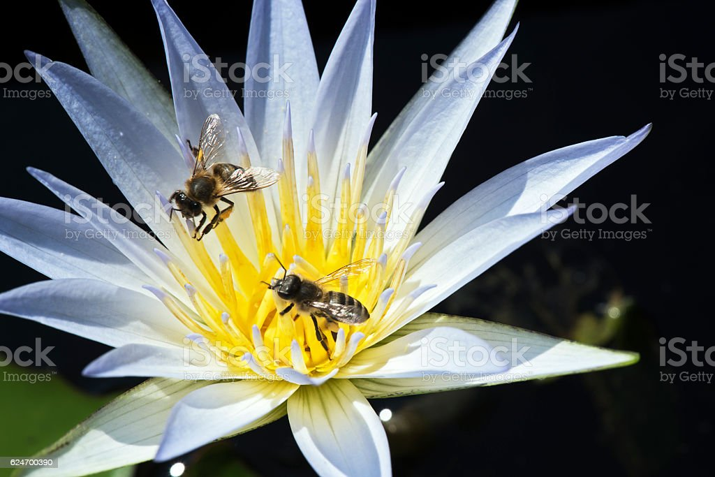 Bee pollinating a lotus flower on calm lake stock photo