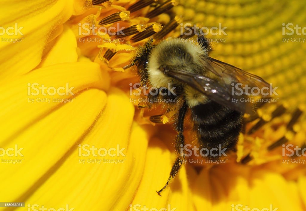 Bee pollinating a sunflower. stock photo