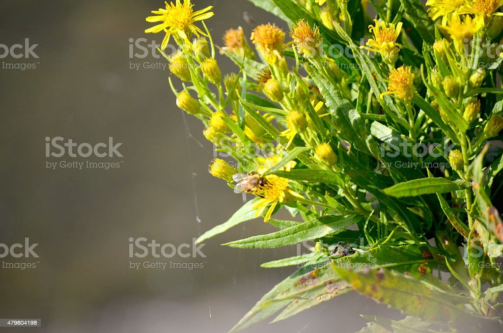 bee pollinating a yellow flower stock photo