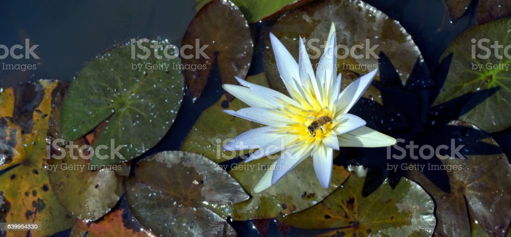 Bee pollinating blue waterlily stock photo