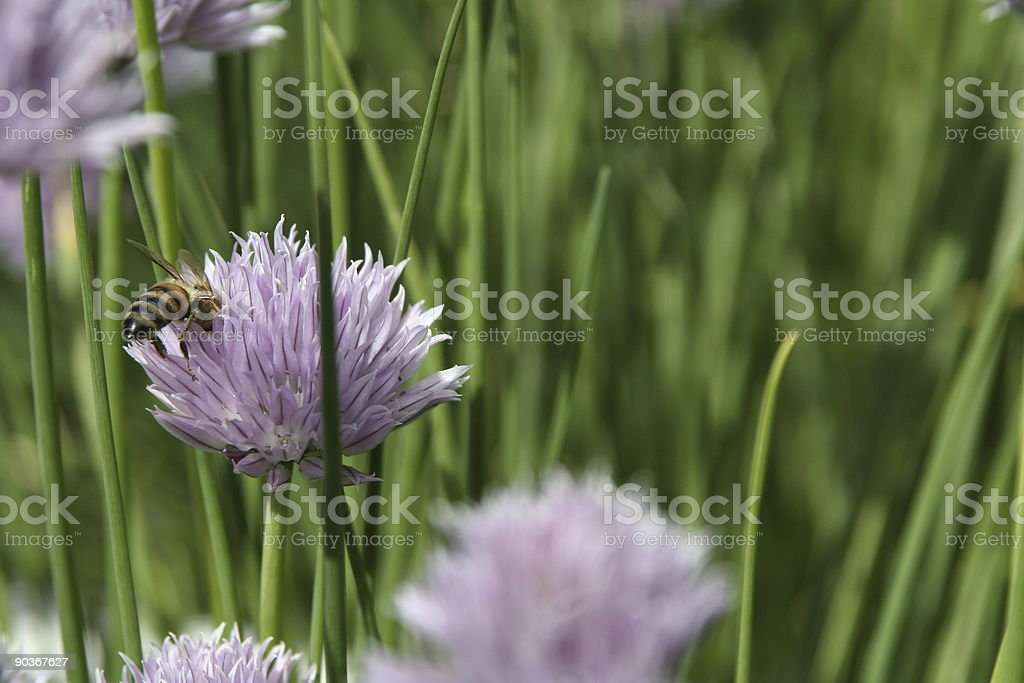 Bee pollinating chive stock photo