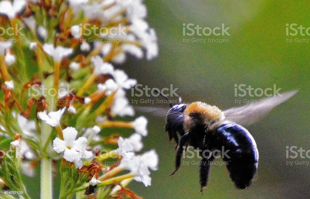Bee pollinating flower stock photo
