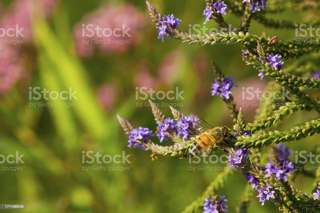 Bee Pollinating Flowers stock photo