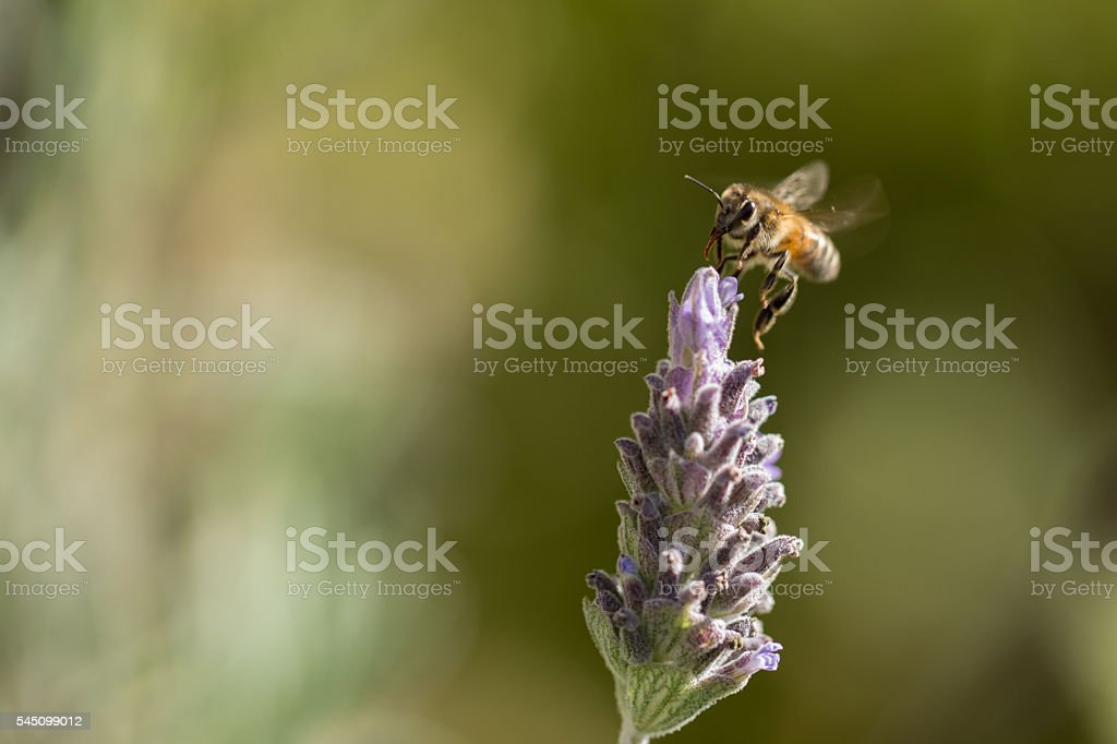 bee pollinating lavender stock photo