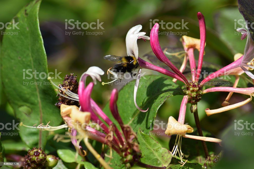Bee pollinating lonicera or honeysuckle flowers stock photo