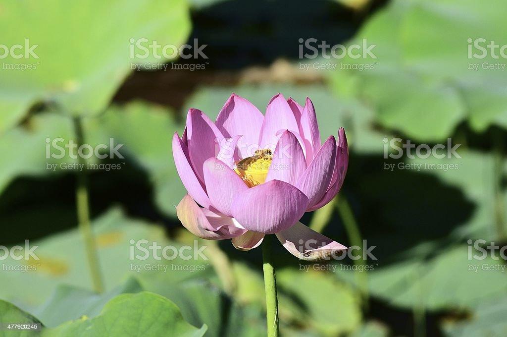 Bee Pollinating Lotus royalty-free stock photo