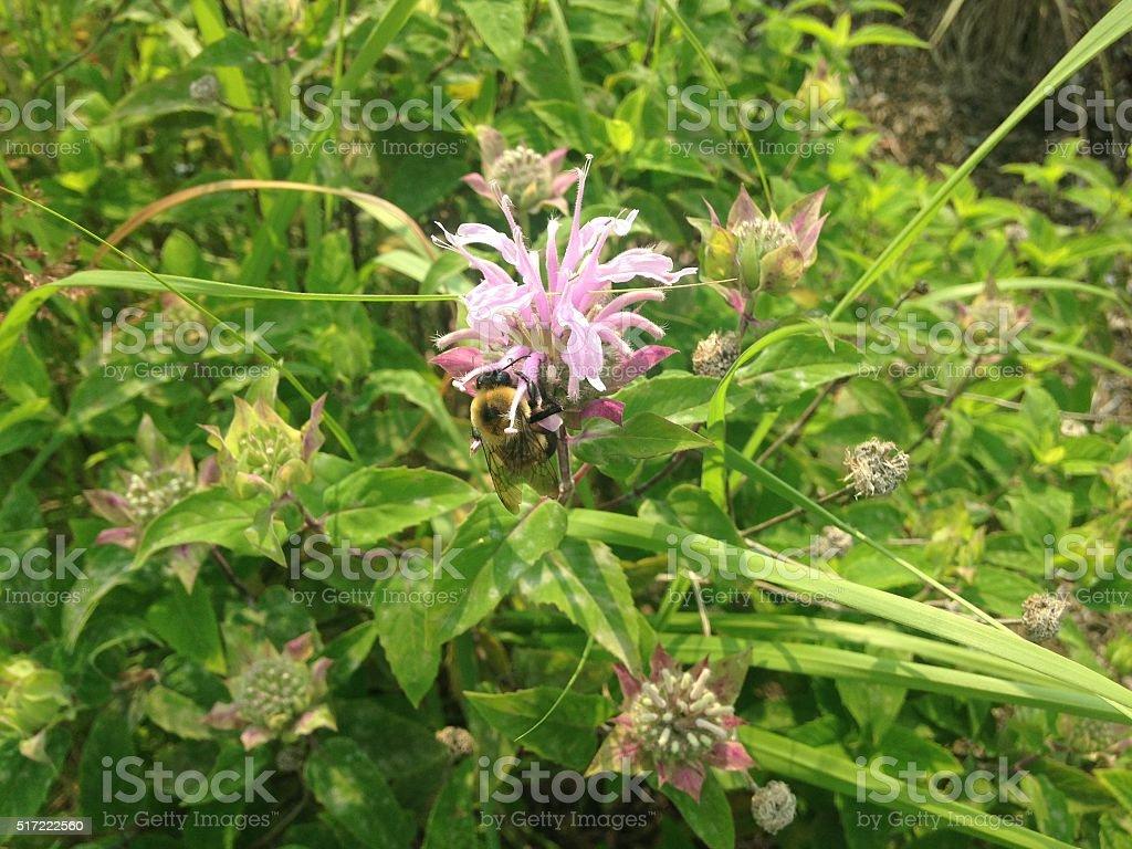 Bee Pollinating Monarda Flower. stock photo