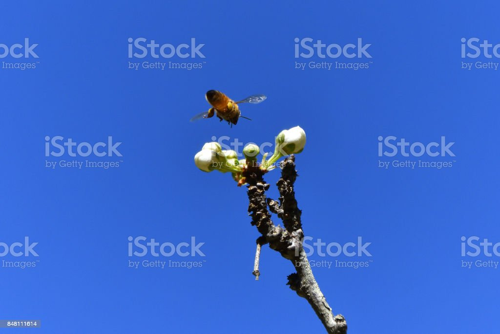 Bee Pollinating stock photo