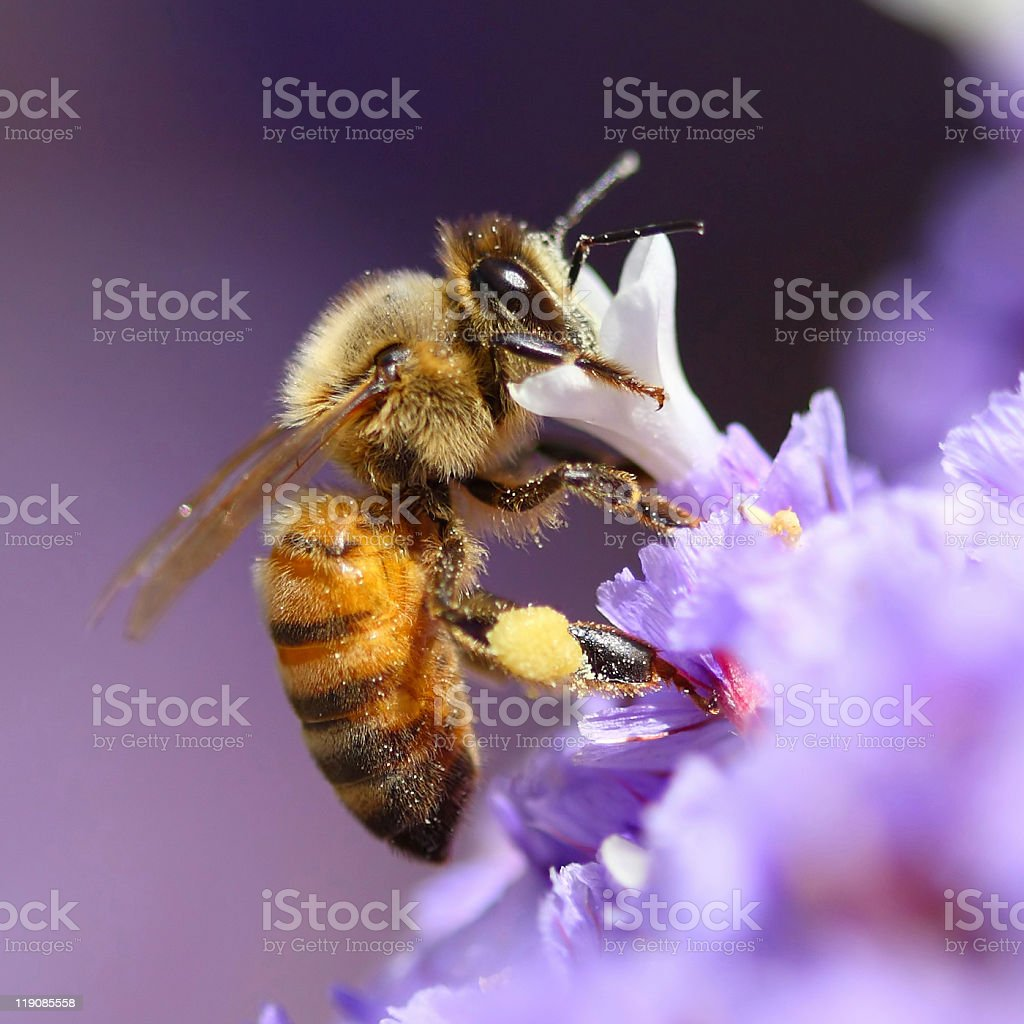 Bee pollinating purple flower stock photo