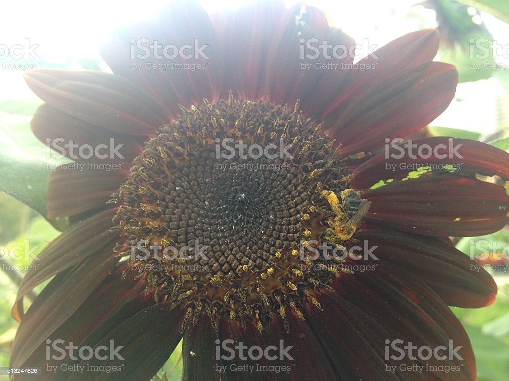 Bee Pollinating Red Sunflower in Sunlight. stock photo