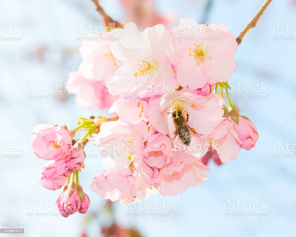 Bee pollinating springtime blooming orchard fruit garden stock photo