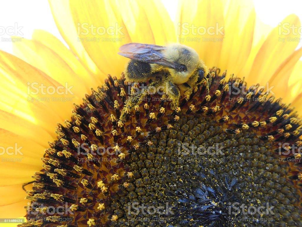 Bee Pollinating Sunflower. stock photo