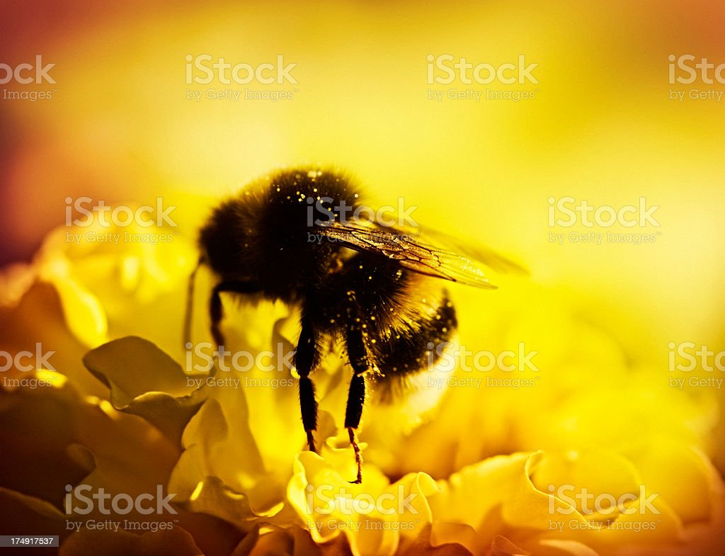 bee pollinating yellow flower royalty-free stock photo