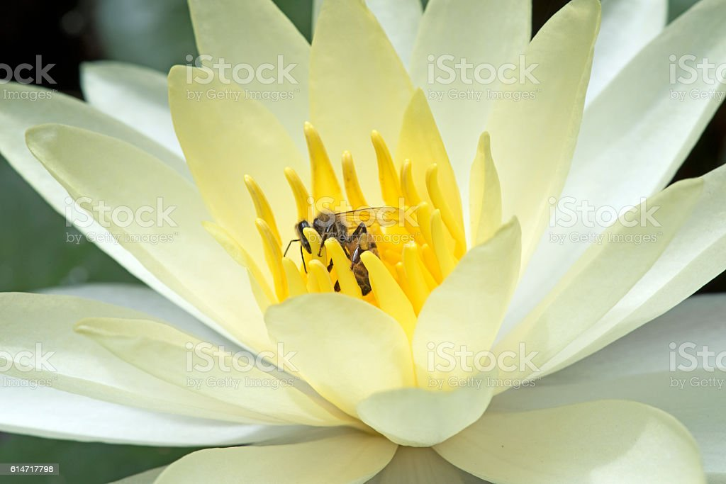 Bee pollinating yellow water lily stock photo
