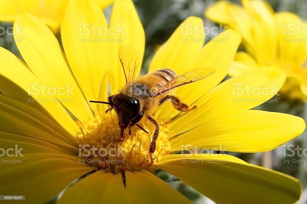 Bee pollination royalty-free stock photo