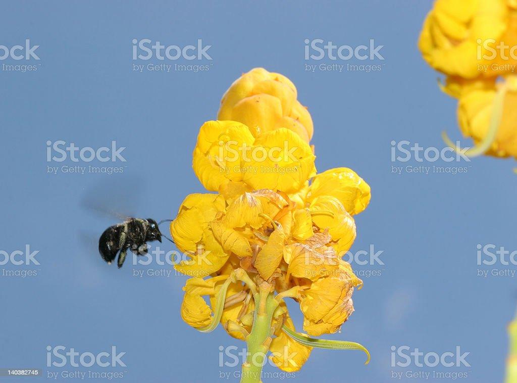 Abeja en flor dispuesto a tierra foto de stock libre de derechos