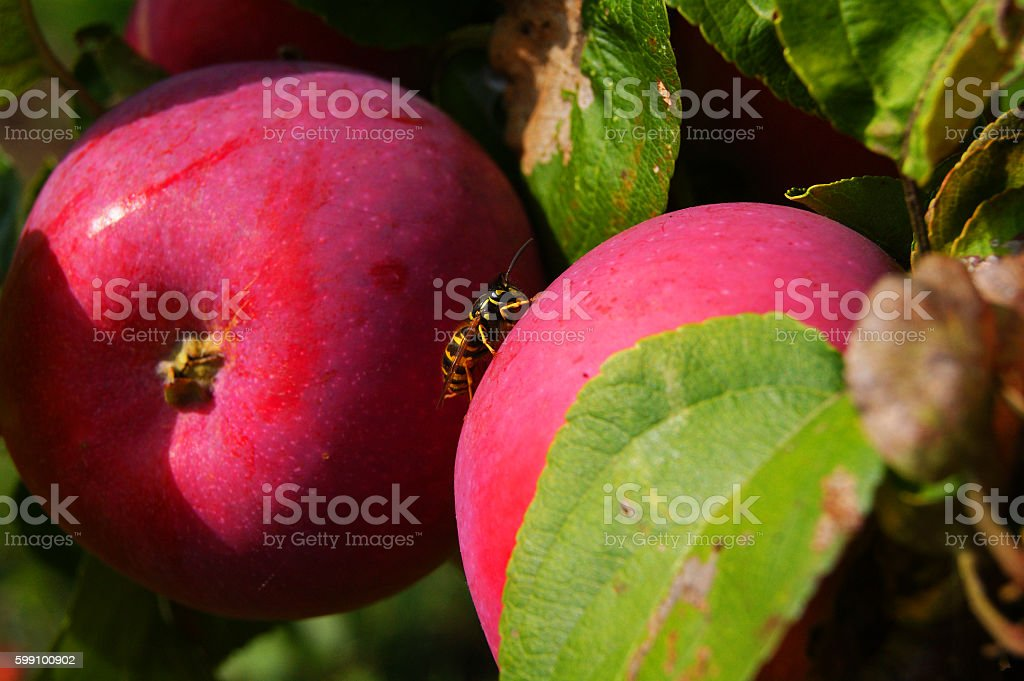 bee sits on an apple stock photo