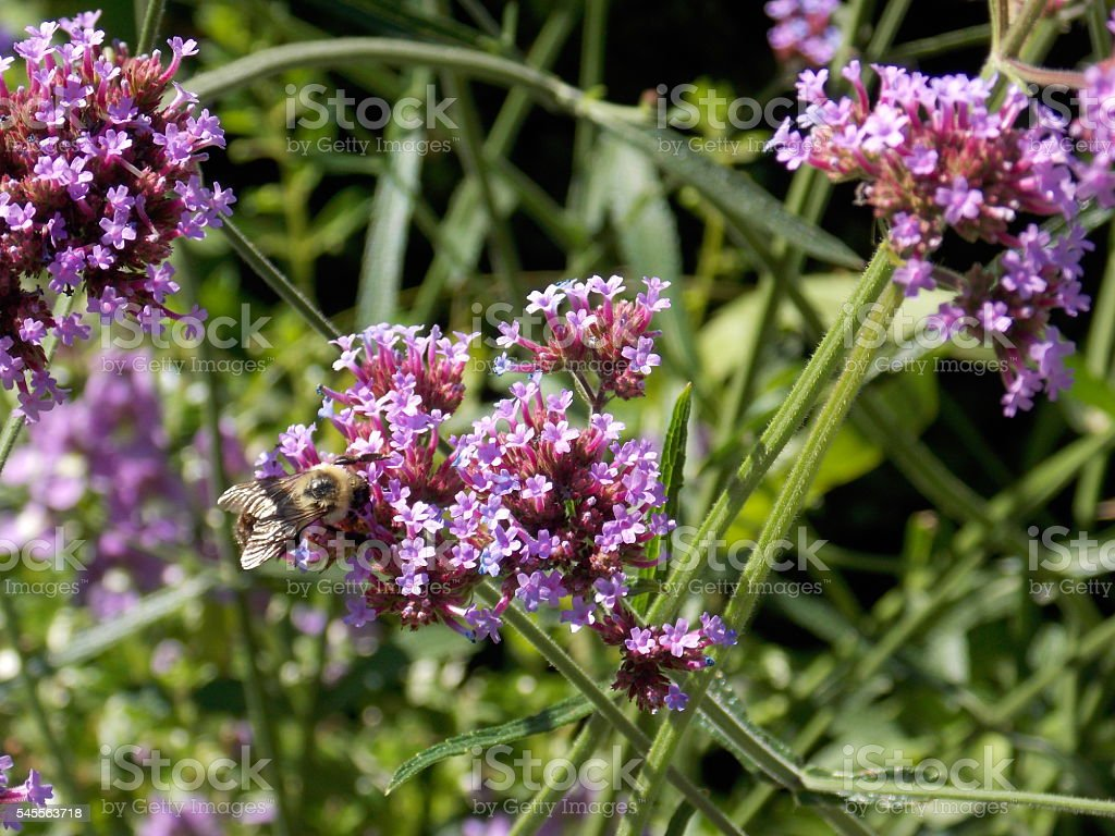 Bee Sits on Tiny Purple Flowers stock photo
