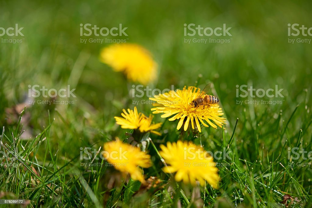 Bee sitting in dandelion stock photo