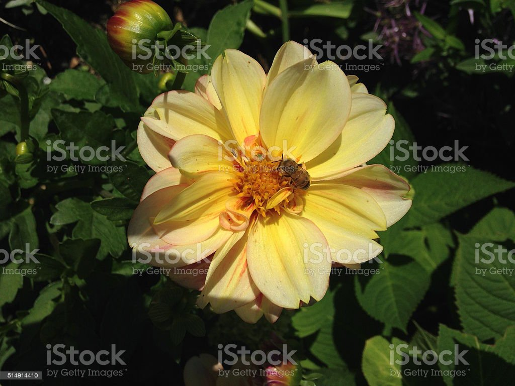 Bee Sitting inside Yellow Dahlia Flower. stock photo