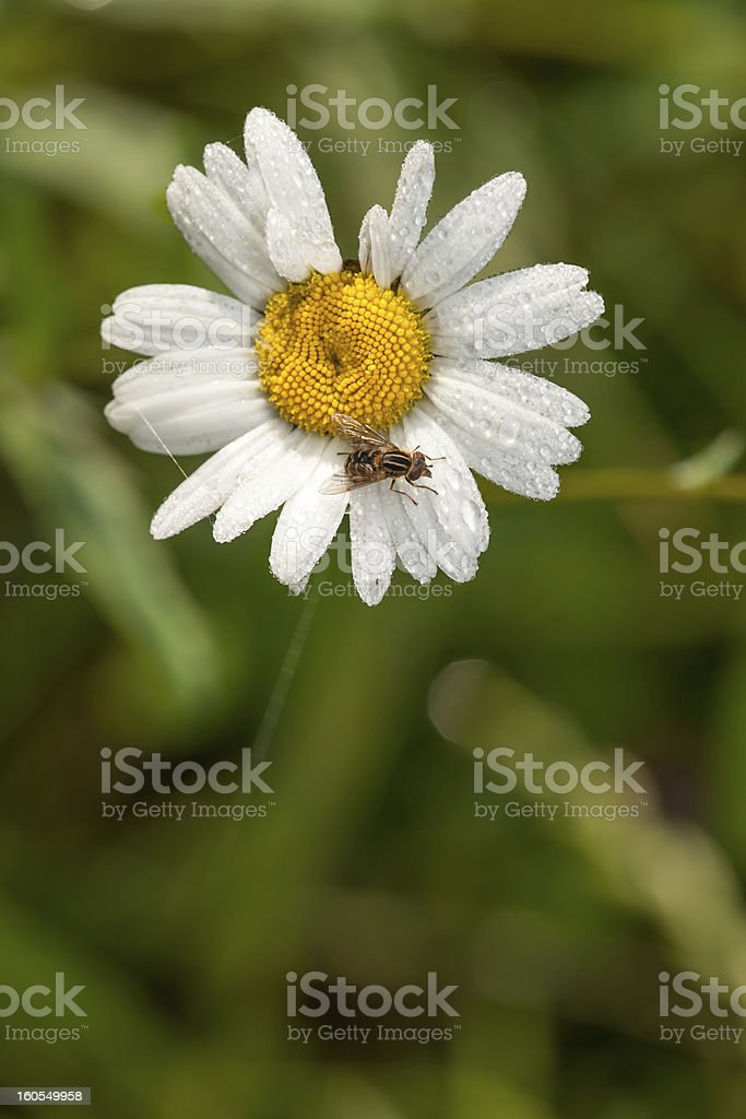 Bee sitting on a flower royalty-free stock photo