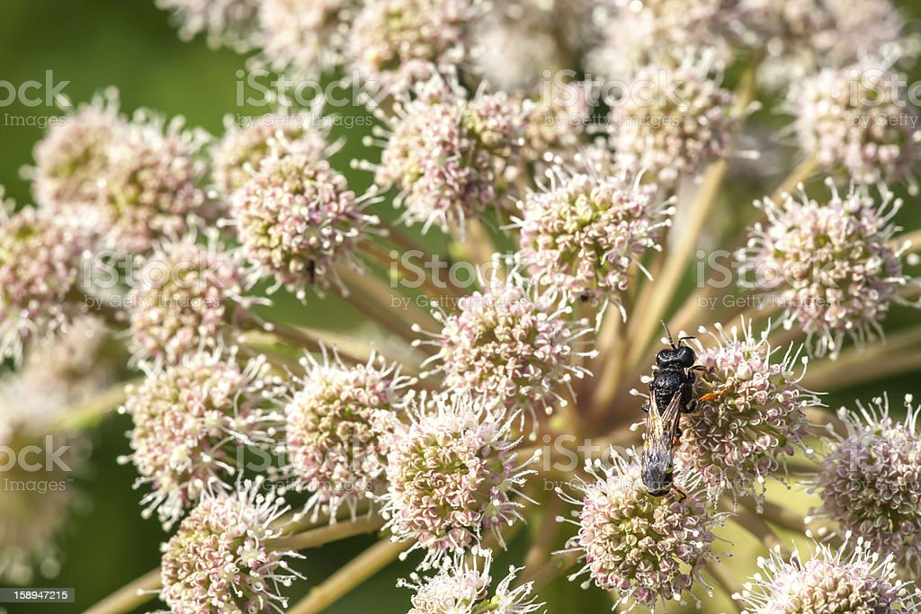 Bee sitting on  flower a yarrow. royalty-free stock photo