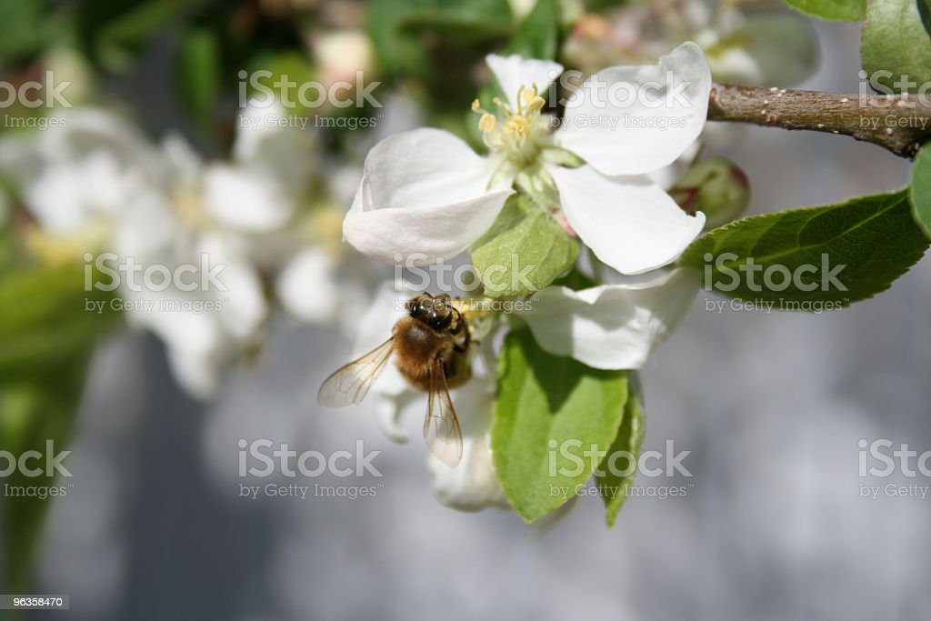 Bee sitting on white apple blossom stock photo