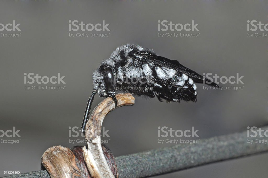 Bee sleeping in an unusual way stock photo