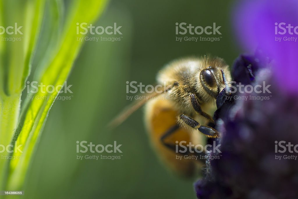 Bee Spotted royalty-free stock photo
