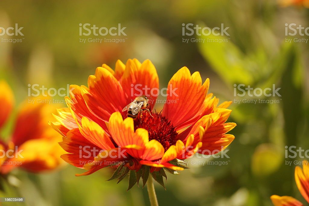 Bee standing on a yellow and red flower royalty-free stock photo
