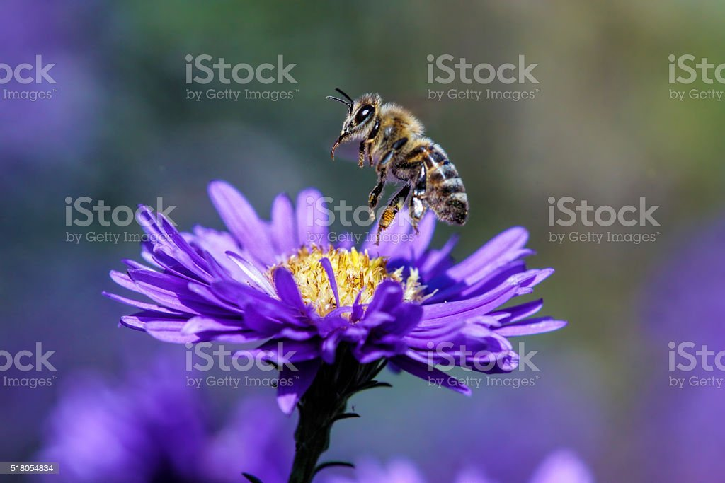 Bee start to fly stock photo