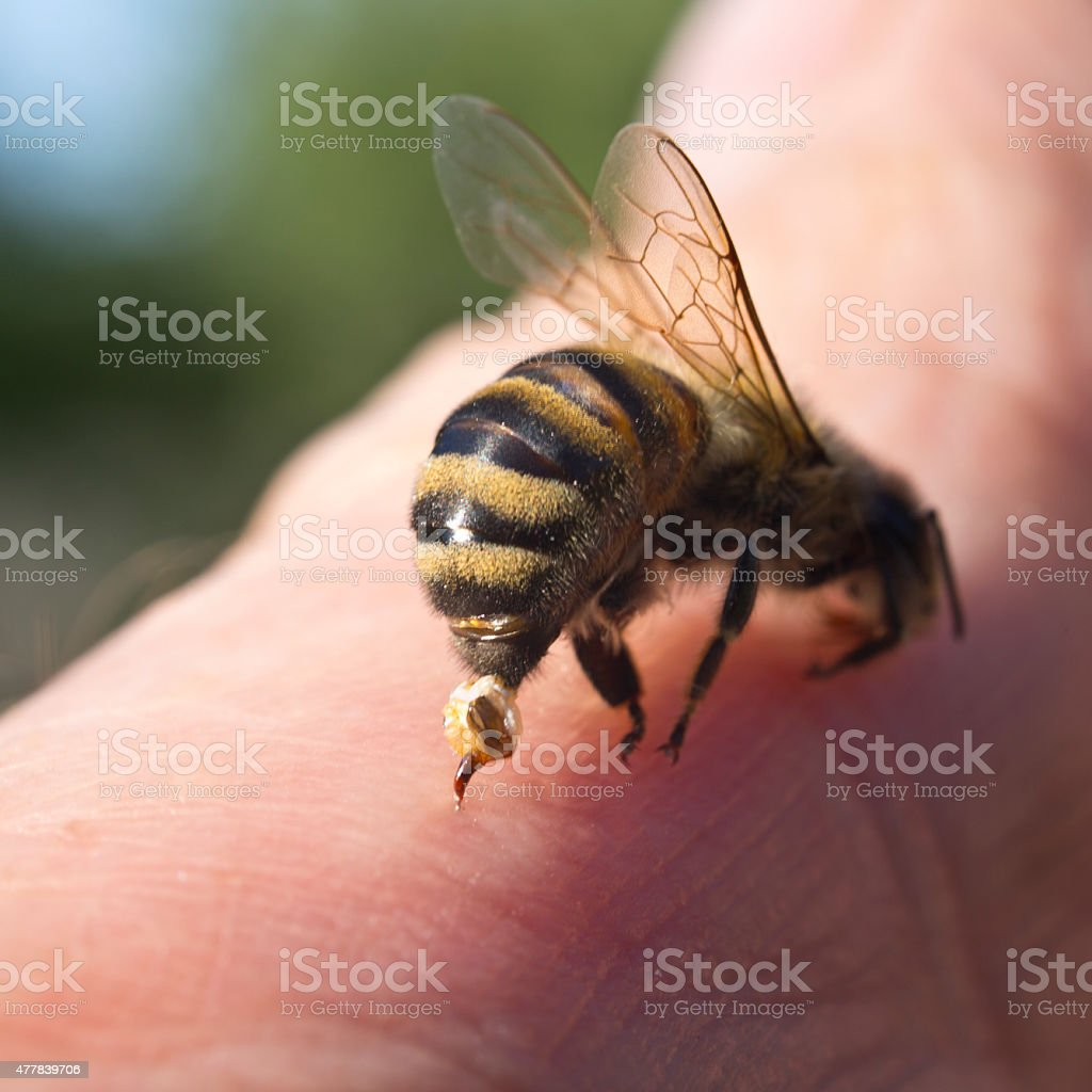Bee Sting - a weapon of defense and attack stock photo