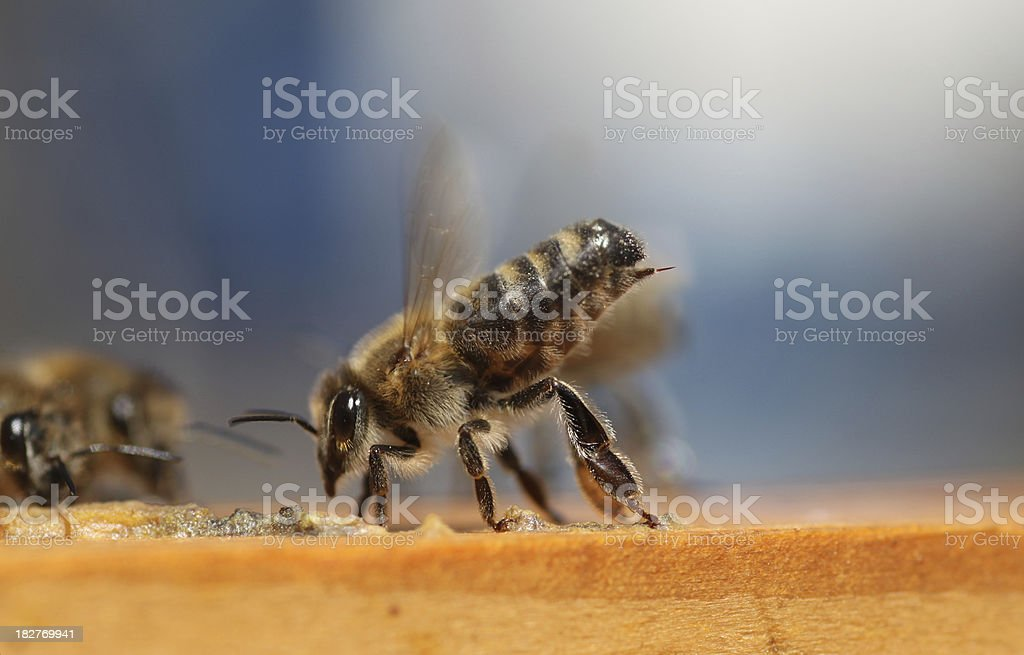 Bee sting royalty-free stock photo