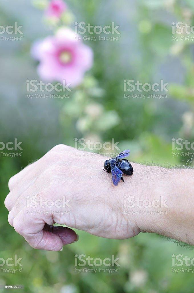 bee stinging man's hand royalty-free stock photo