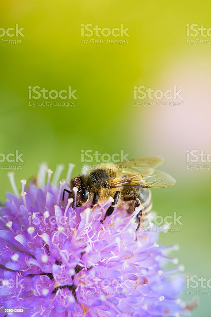 Bee sucking nectar from scabiosa flower stock photo