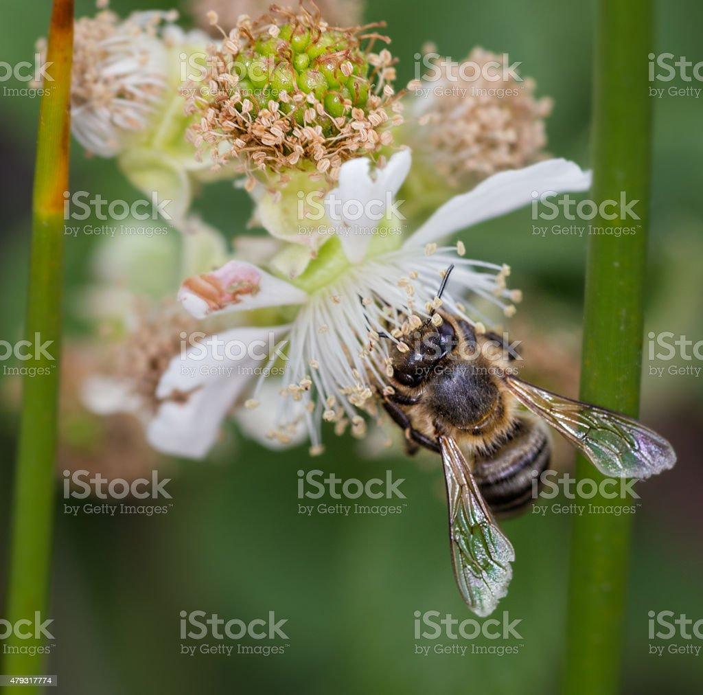 Bee sucking nectar of white flowers stock photo