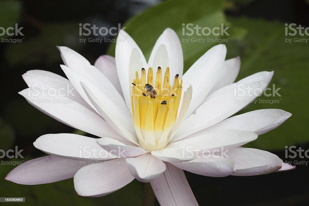 bee swarm water lily royalty-free stock photo