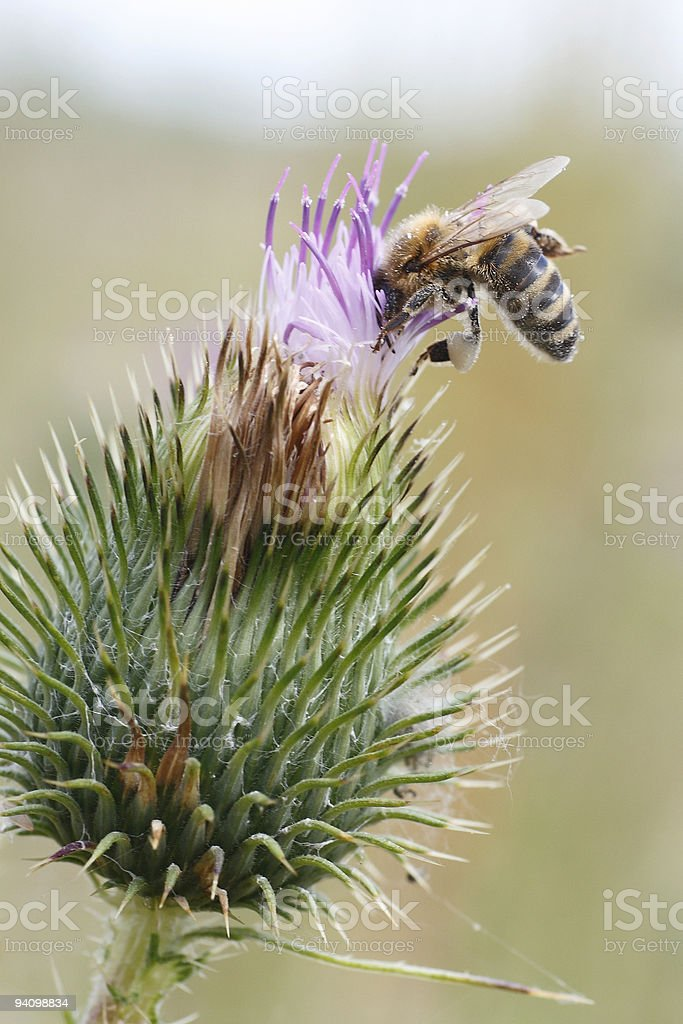 bee to collect honey from a purple thistle bloom stock photo