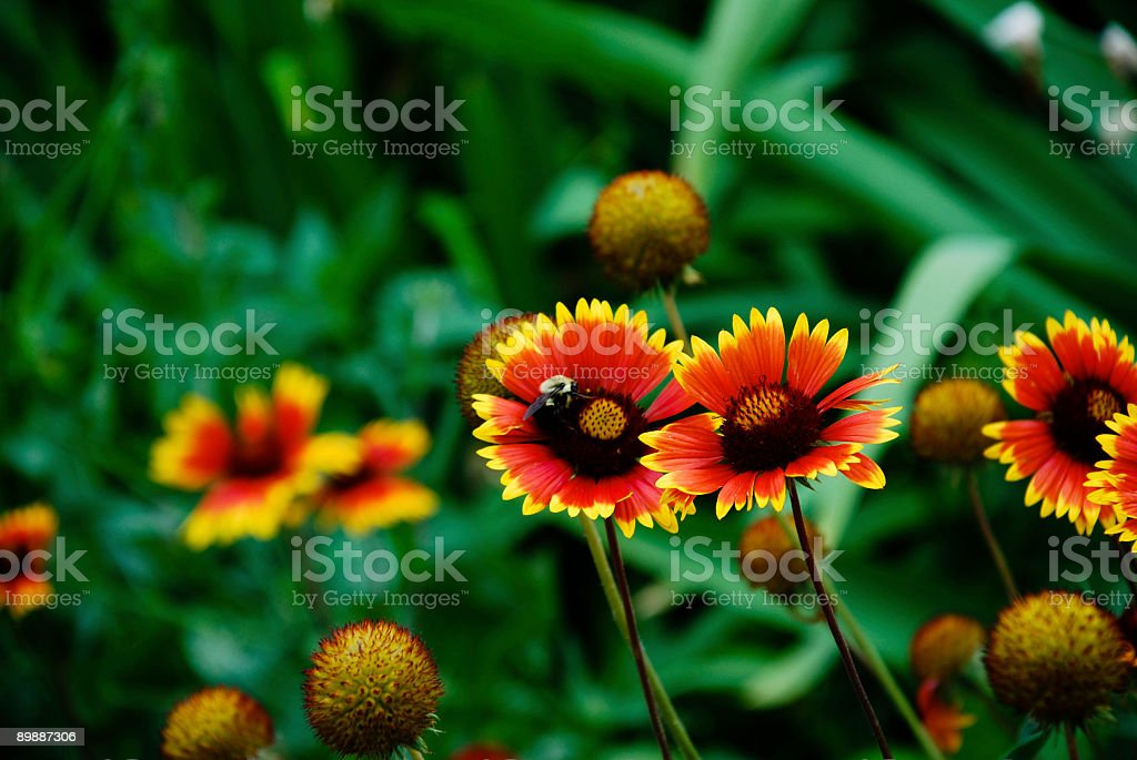 Bee Visiting Gallardia Flowers stock photo