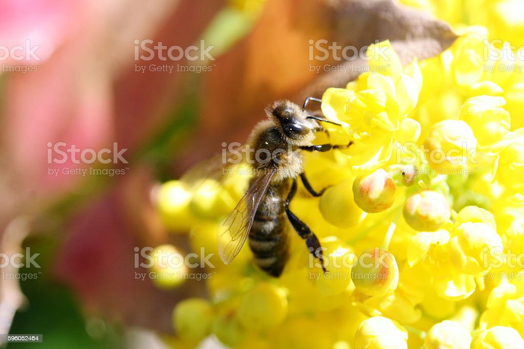 bee visits a yellow flower stock photo