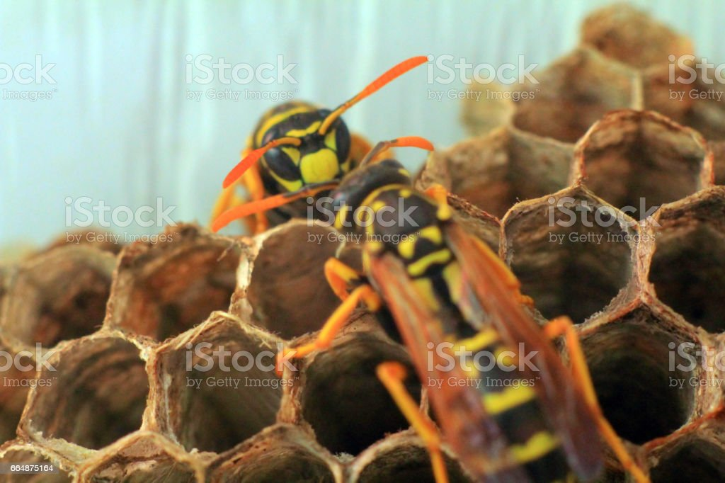 Bee, Wasps stock photo