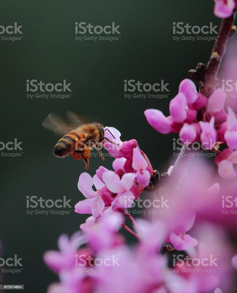 Bee with full pollen baskets on back legs stock photo