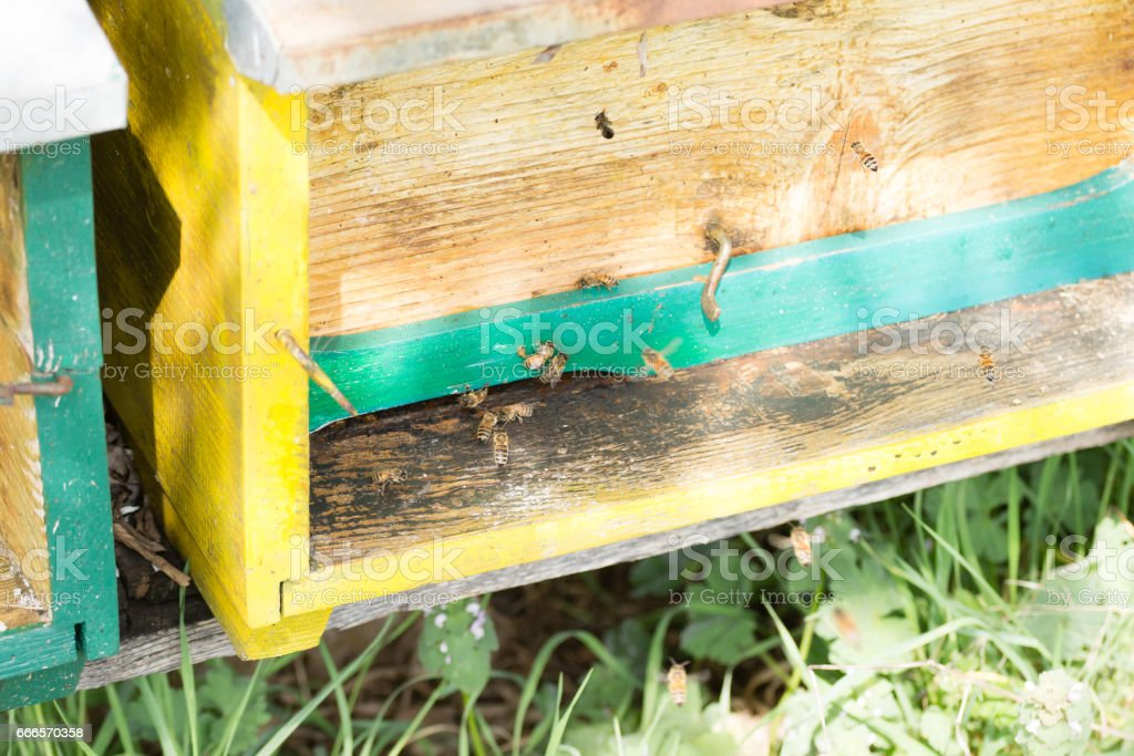 Bee with pollen that enter in the hive stock photo