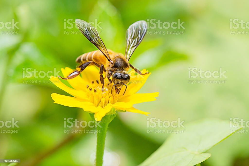 Bee with pollen,yellow flower stock photo