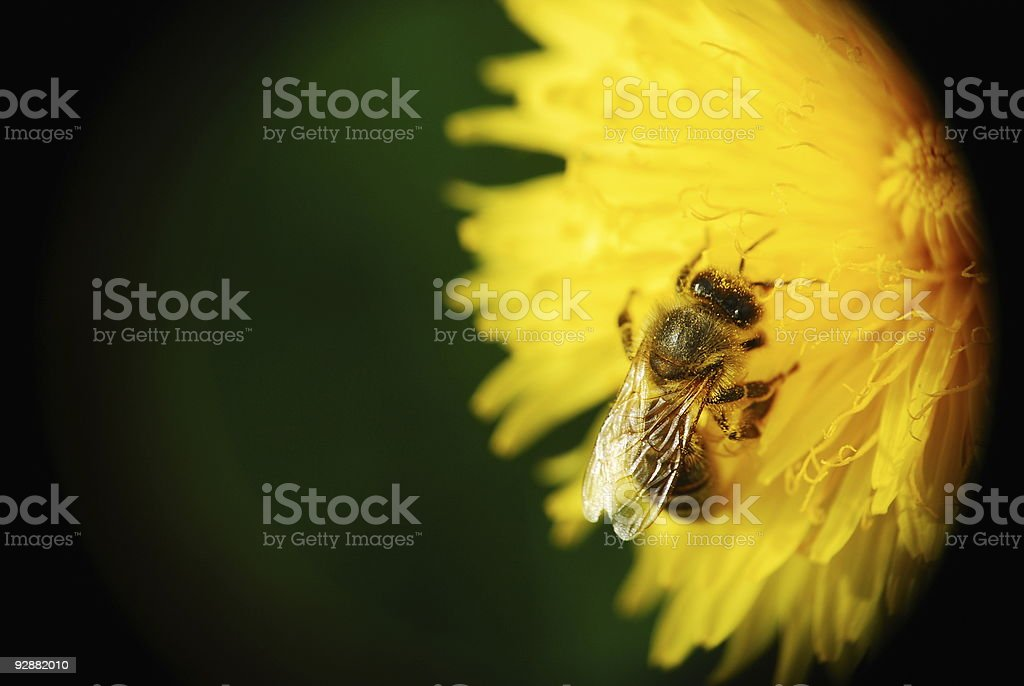 Bee with yellow pollen in the hair stock photo